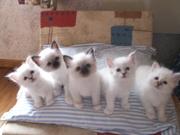 красивые котята Бирман доступны для Вас