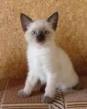 Продаются сиамские котята!