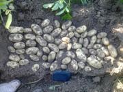 качественный картофель семенной Германия,  Нидерланды произв. в Украине