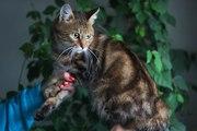 Метис бенгальского кота