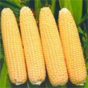 продам семена кукурузы,  очень стабильный сорт