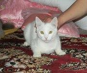 Белоснежный котик 7-ми месяцев ищет семью!!!