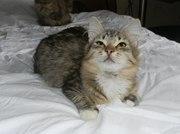 Очень красивая котенок-кошечка ищет дом!