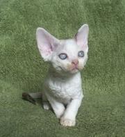 Кудрявые,  нелиняющие котята девон-рекс