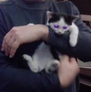 Отдам в хорошие руки котенка,  1, 5 месяца.
