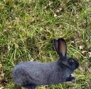 Продам кроликов породы Полтавское серебро