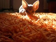 Продам котенка Донской сфинкс 2, 5 мес мальчик