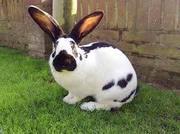 элитный молодняк кроликов