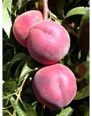 НОВЫЕ сорта саженцев персиков и нектаринов (США) от производителя!!!