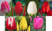 Продам оптом тюльпан к 8-му марта