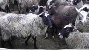 продам овец ярок РОМАНОВСКОЙ ПОРОДЫ