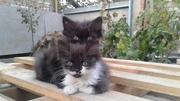 Одам котят (девочки) , 2.5 месяца