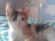 Котеночек,  девочка,  2 месяца. Дарю!