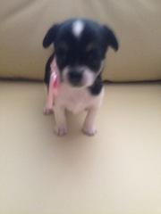 Продам щеночка-девочку  Чихуахуа-Мини. 4000 грн. Родилась 30.08.2017
