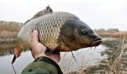 Живая товарная рыба: карп (зеркальный),  белый амур,  толстолоб.