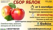 Сбор яблок ( Польша)