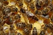 Пчелиные плодные матки разных пород