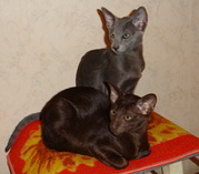 Продам ориентальных котят
